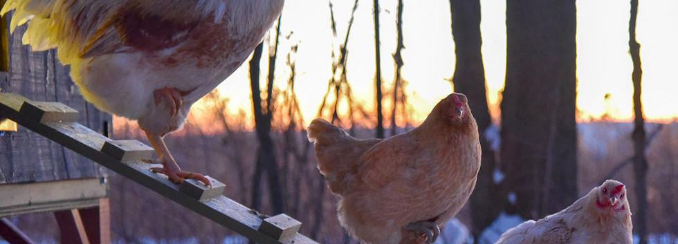 ChickenSunrise2.jpg