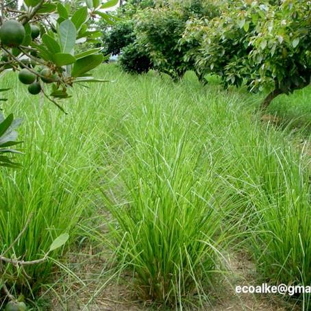 VETIVER -Die ökologische Wunderpflanze