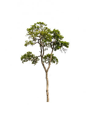 tree-with-white-background_1232-575.jpg