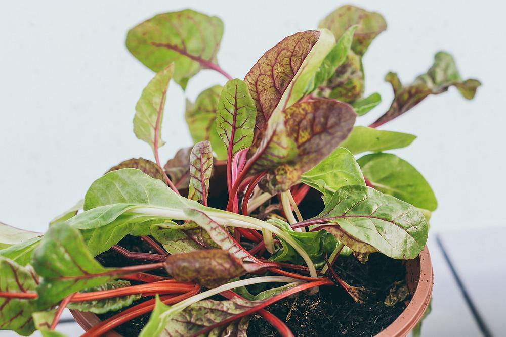 Roter Mangold, tchibo, Urban Gardening