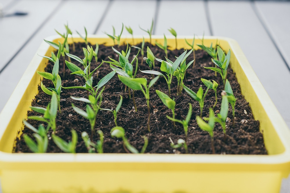 Paprikapflanzen, Erde, tchibo, Urban Gardening