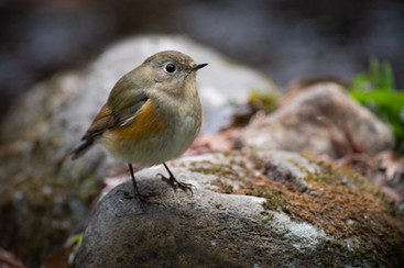 Red-flanked Bluetail Female
