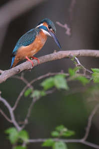 Portrait of Common Kingfisher