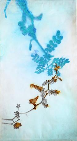 Le portrait des plante, Sophora