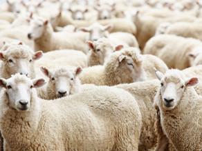 תיאוריית העדר או...מה יש לנו מכבשים?