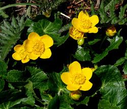 Fleures jaunes   Vincent Fontan