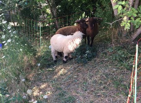 Des moutons dans le quartier!