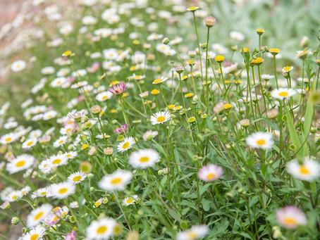 Portrait de la fleur de la semaine : l'érigéron