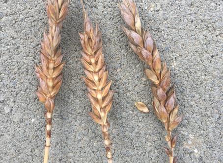 Des nouvelles de nos blés!