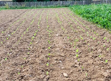 Nous plantons les chicorées pour cet hiver