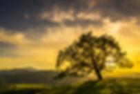 Sunset through an oak tree near San Jose