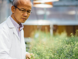 Montana State University researchers to lead $11M study to deepen understanding of camelina