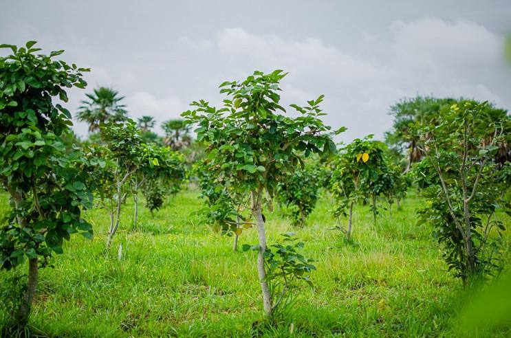 Pongamia, tree oil, feedstock for renewable diesel, SAF