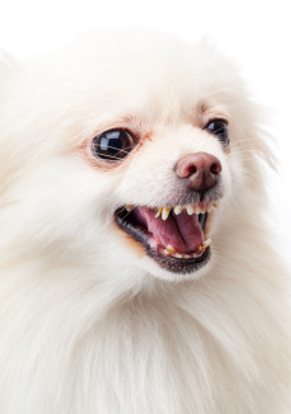 White pomeranian angry barking