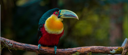 Tucano_de_bico_verde_(Ramphastos_dicolor