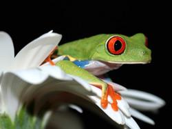 costarica_nature-frog