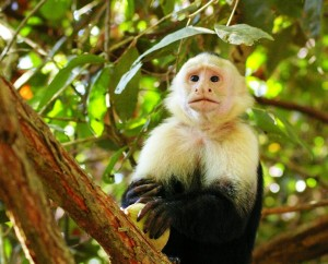 white-faced-monkey-costa-rica