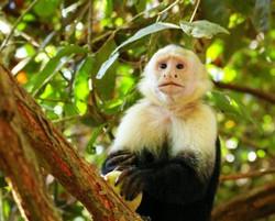white-faced-monkey-costa-rica