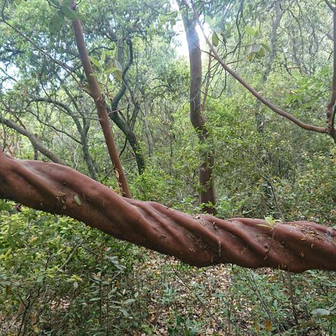 עץ קטלב צומח במדרון.JPG.jpg