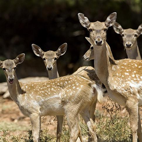 Persian_Fallow_Deer_Does.jpg