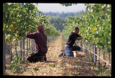 Farm workers harvesting grapes
