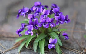 """Forgiveness is the fragrance the violet sheds upon the heel that has crushed it."""