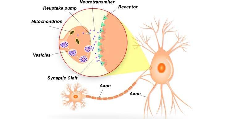 Cortisol Decreases & Serotonin & Dopamine Increase Following Massage Therapy