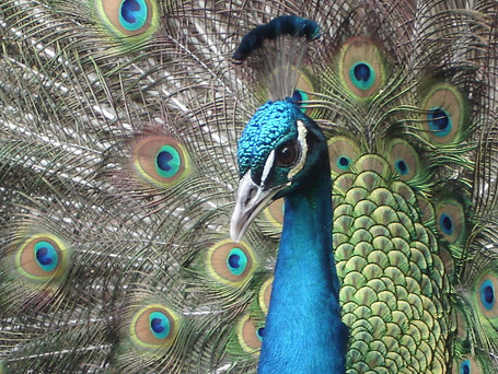 Beauty is in the eye of the Peacock