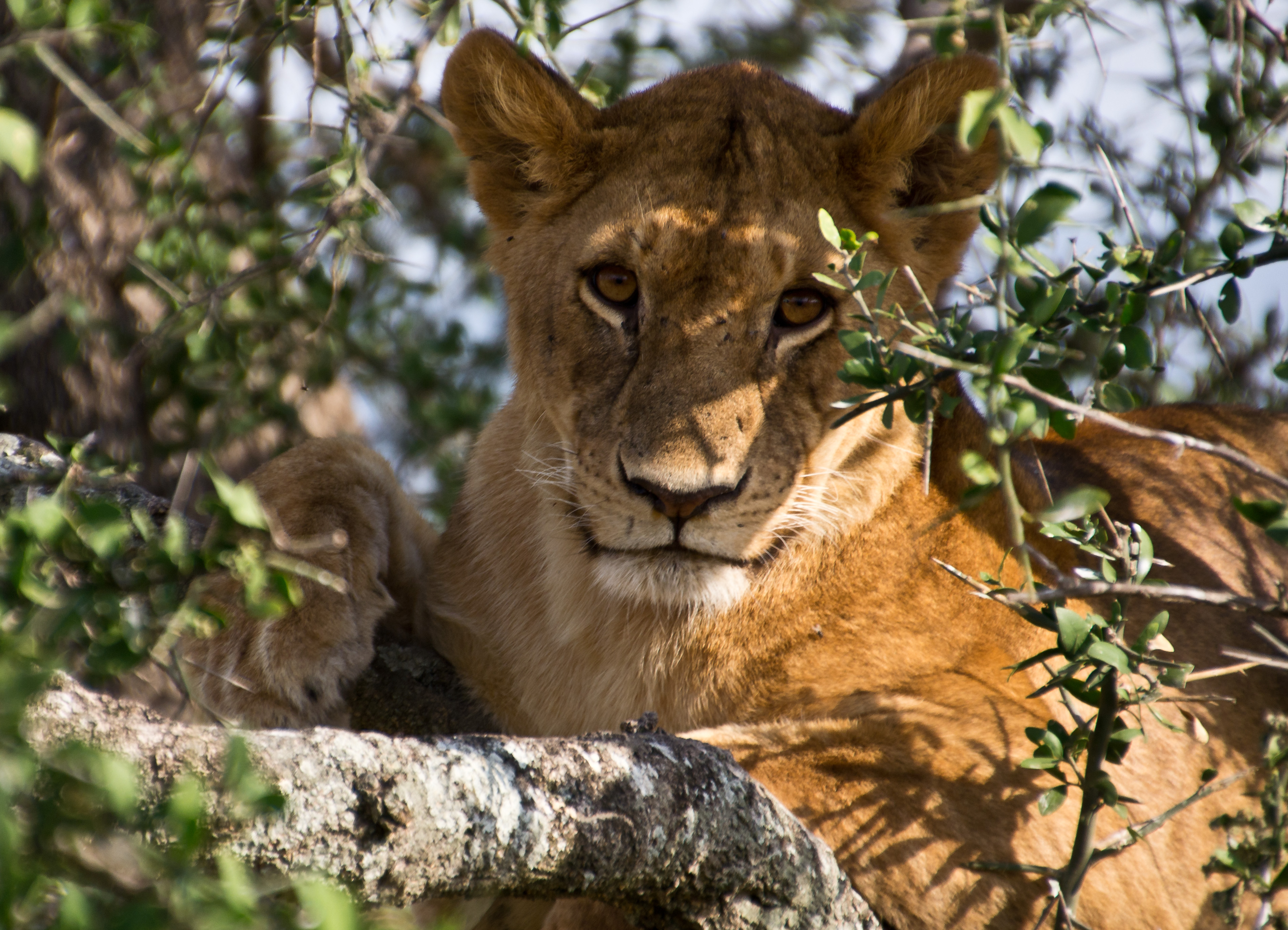 A lioness in the Serengeti