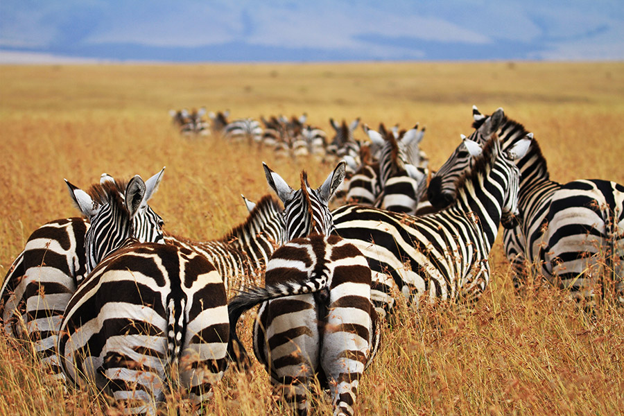 The endless plains of zebra