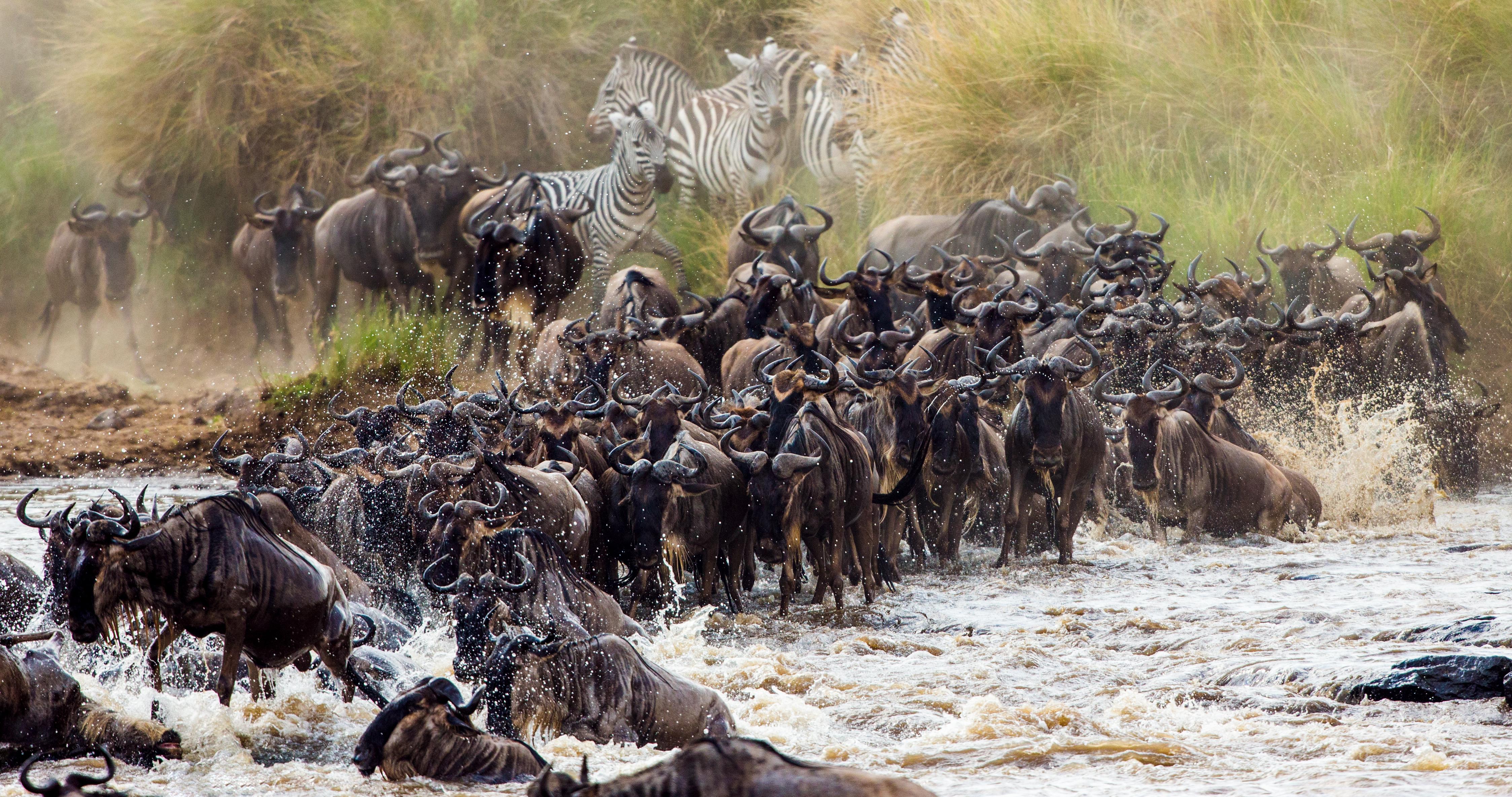 The wildebeest Mara river crossing