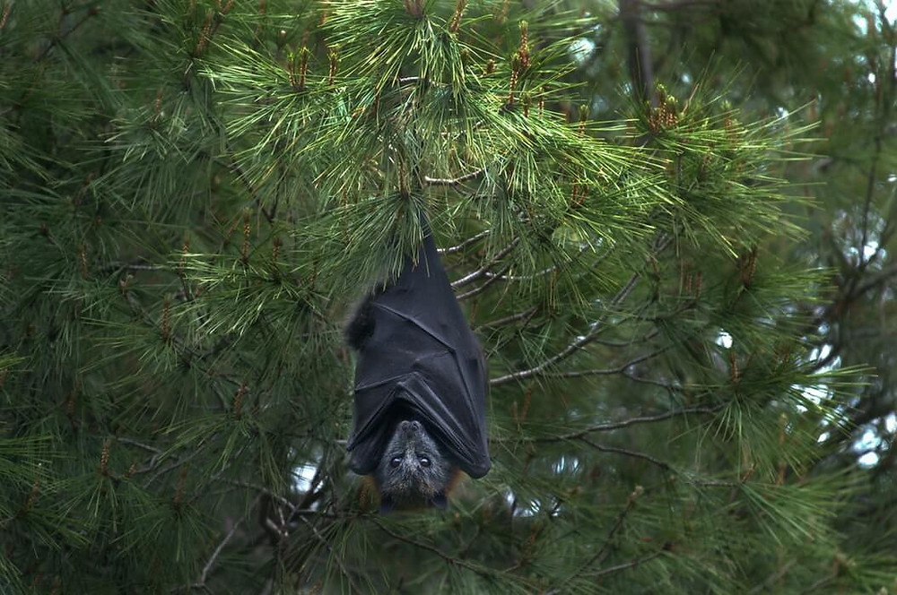 Seekor kelelawar menggantung di pohon