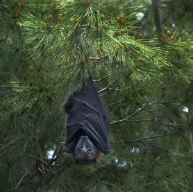 New Study on Bats Shows Climate Change is Linked to COVID-19. Here's Why.