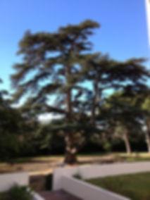 élagage, taille de bois morts sur un Cédre, Brignoles