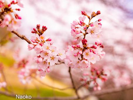 出張女性カメラマン・桜を撮りました