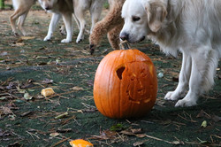 Worcester's first pumpkin - Doggy Day Care Cornwall