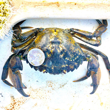 Green Crab Nation Size 2.jpg