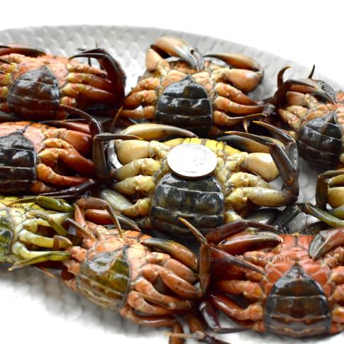 Green Crab Nation Size_12-9_DSC_0514.jpg