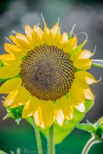 28- Sonflower Blossom