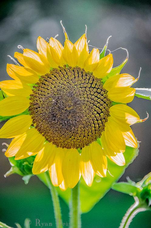 Sonflower Blossom