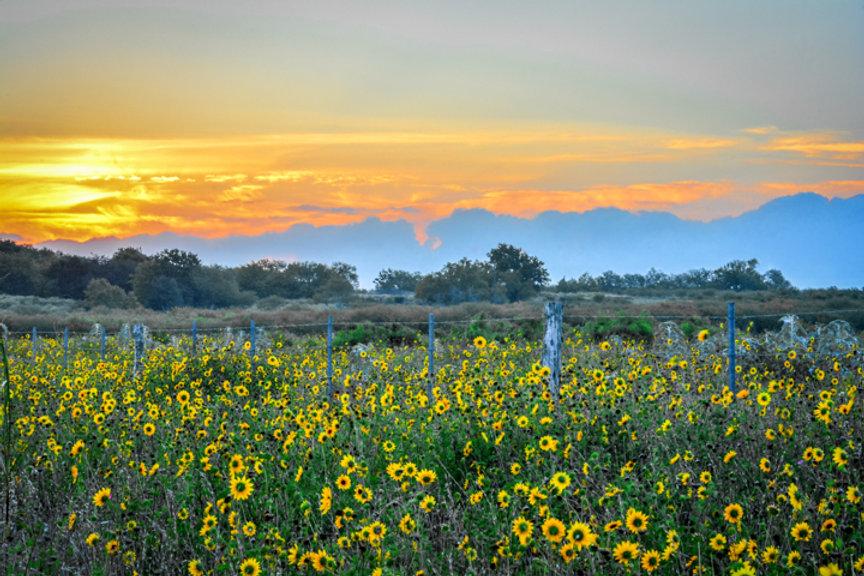 G'Morning Sushne, Flowers, Photography, Fine Art, Sunflowers, Sunrise