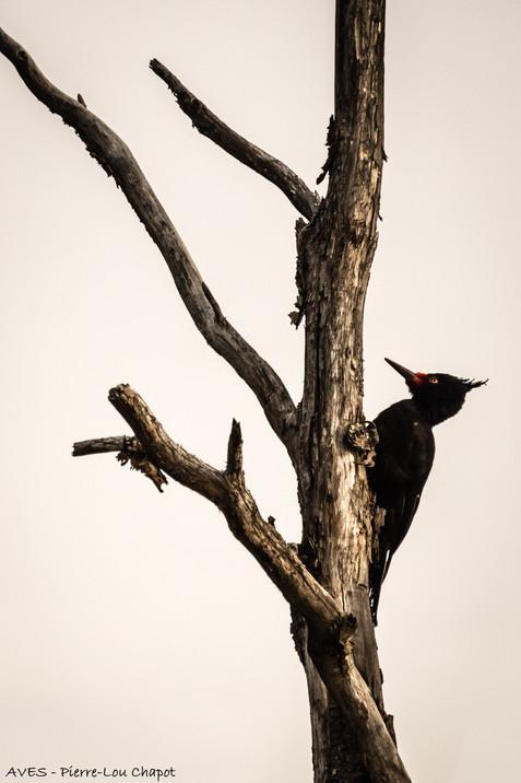 Magellanic Woodpecker - Campephillus magellanicus