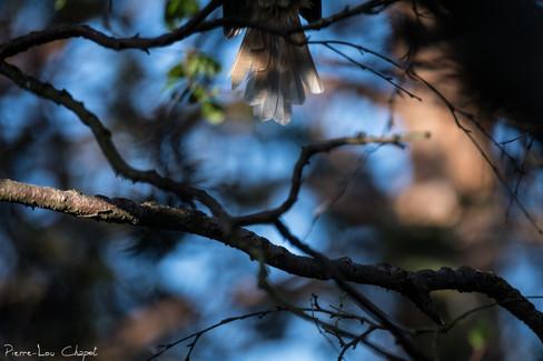 Mésangeai imitateur – Perisoreus infaustus – Siberian Jay