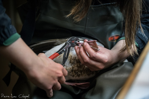 The ringing is a meticulous step. The rings for ducks are made of steel and are relatively difficult to close. Several steps of clamping and opening with different pliers are required to position the ring exactly as desired.