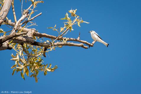 White monjita - Xolmis irupero