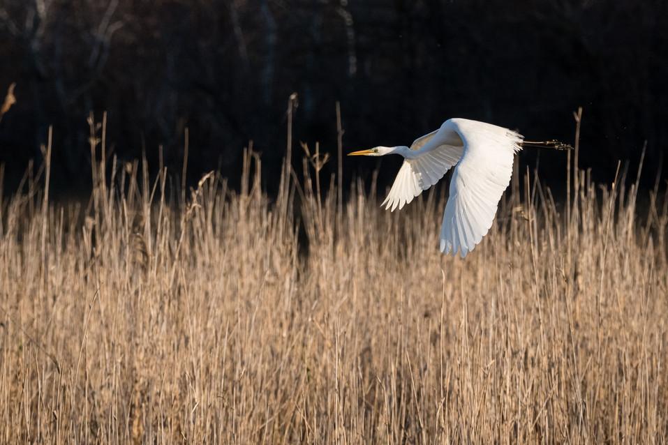 Grande Aigrette – Ardea alba – Great Egret