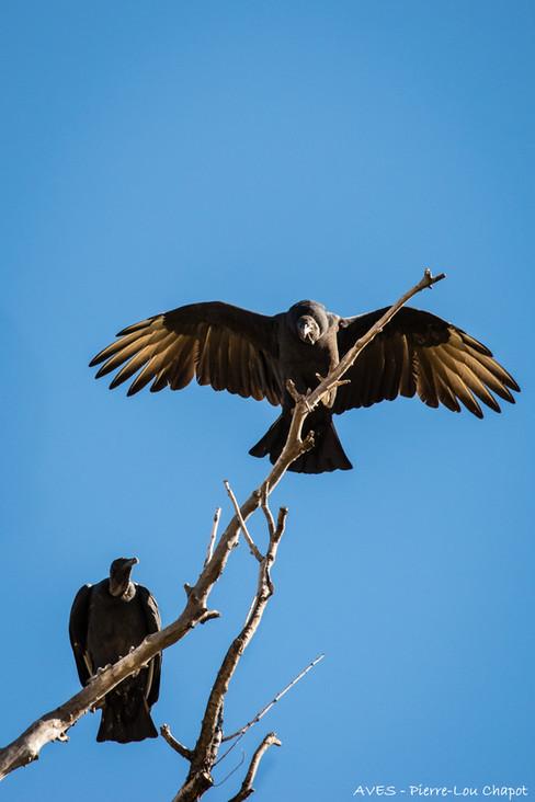 Urubu noir - Coragyps atratus