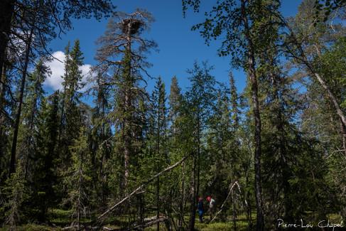 Les nids d'aigles que nous avons rencontrés étaient pour la plupart situé aux sommets de hauts pins, atteignant parfois plus de 15 mètres de hauteur.