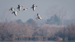 Oie cendrée – Anser anser – Greylag Goose