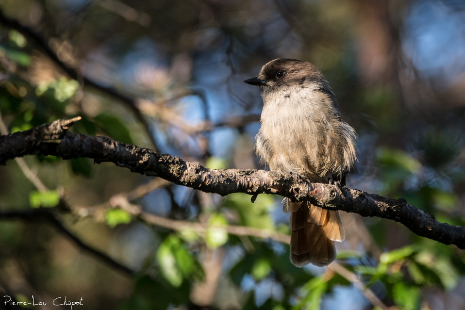 Mésangeai imitateur – Perisoreus infaustus – Siberian JayMésangeai imitateur – Perisoreus infaustus – Siberian Jay